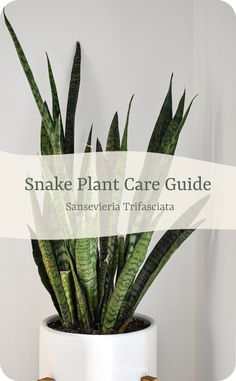 Ferns Care, Snake Plant Care, Largest Snake, Long Snake, Provident Living, Small Snakes, House Plant Care, Spider Plants, How To Grow Taller