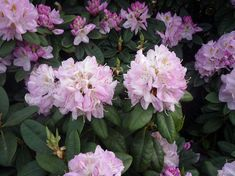 rododendron Sun Garden, Plants, Flora, Plant, Planting