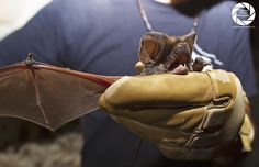 European Free-tailed #Bat #Gibraltar @GibBats @GibraltarMuseum @GorhamsCave  @_BCT_ @BatConIntl @rodrigomedellin