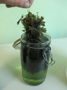 Quand sortir le bouquet d'aspérule odorante de l'eau-de-vie ?