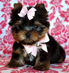 Micro Teacup Yorkie Princess SOLD! Found a fabulous family!!