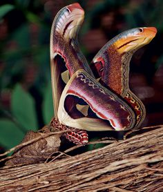 Atlas Moth-Considered the largest moths in the world, found mainly in the subtropical forests of Asia. They mimic the shape of snake-heads in-order to confuse potential predators. I guess 2 snake-heads are better than one.