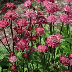 Astrancia Vermelha - Família Apiaceae - As Astrancia Vermelha têm floração descontínua desde o início do Verão até ao início do Outono. Têm crescimento rápido de cuidados fáceis, poderemos