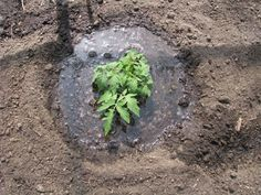 How to properly plant tomatoes to get the best yeild. Add everything including the kitchen sink!