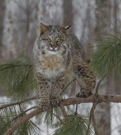 beautiful-wildlife: Lonely Bobcat by Chris Montano Jr.