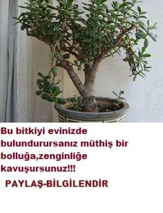 EVE BEREKET BOLLUK GETİREN BİTKİ