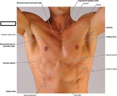 nursingbuddycom-surface-anatomy-of-male-pectoral-region-149836B6CCD12889807.jpg (800×657)
