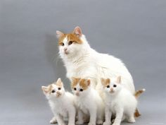 5e9e6ea48e turkish van cat hd widescreen wallpapers for your desktop or tablet - turkish  van mother with three kittens