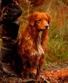 MAC CRAWFORD IS ON PINTEREST literally. & that's Lizzy Crawford's dads leg! Nova Scotia Duck-Tolling Retriever