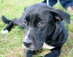 Cash is an adoptable Black Labrador Retriever Dog in Chipley, FL. My name is Cash, the man in black (don't call me Sue!). I am a 1 to 2 year old male black lab cross, about 30 to 35 pounds. I am a ver...