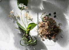 Ce qu'il faut savoir avant de se lancer Pour débuter cette fiche technique sur la mise en pot d'une orchidée ou sur le rempotage d'une orchidée, il est bon de rappeler certaines généralités sur cette plante. Les orchidéesdisponibles à la vente sont principalement épiphytes (qui