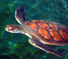 most colorful photographs images | Sea Turtle 2.jpg photo - TimMoore photos at pbase.com