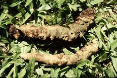 A root knot nematode infestation is probably one of the least talked about but very damaging pests in the gardening landscape. Find out more about these pests in the following article.