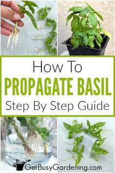 Whether you're interested in basil water propagation, rooting them in soil, or by division, you can learn how to do it in my comprehensive guide on propagation. Basil propagation is easy and can be done effectively with any of those three methods. Get my tips on light and water, plus information on caring for your newly rooted cuttings, so you can have the best chance at successfully replanting and getting new growth. It'll be easy to learn how to expand a single stem or basil plant into many. Home Made Puff Pastry, Pruning Basil, Propagation, Cuttings, Basil Plant, Rubber Plant, Free Plants, Replant, Seed Starting