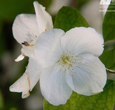 Idaho State Flower - Syringa