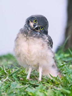 cute owl vía @500px (porque las fotos de animalitos siempre garpan)