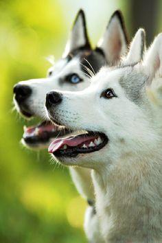 Beautiful pair of Siberian Huskies by Anne Geier on 500px