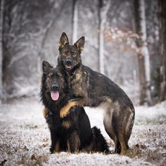 GSDs Beautiful!