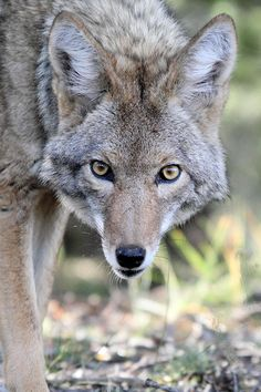 Coyote In Grand Canyon Np by Pierre Leclerc Photography Grand Canyon National Park, National Parks, Beautiful Creatures, Animals Beautiful, Beautiful Wolves, My Spirit Animal, Wild And Free, Central Park, Pet Birds