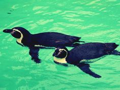 Penguins- I can watch these guys swim ALL DAY LONG.