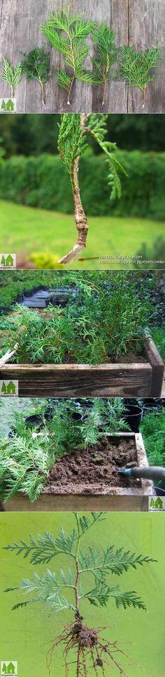 Как размножить тую | Дачная жизнь - сад, огород, дача