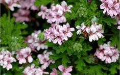 Rose Geranium essential oil is commonly used as a scents in many skin care and spa products due to its rose-like smell. Rose Geranium essential oil is good for all skin types. Rose Geranium Oil, Geranium Plant, Scented Geranium, Geranium Flower, Geranium Essential Oil, Essential Oil Blends, Essential Oils, Insect Repellent Plants, Hibiscus