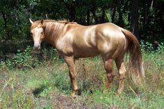 American Quarter Horse Stallions  gold champagne stallion