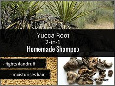 Native to South eastern region of America, yucca root is an ancient remedy for dandruff. It contains natural saponins, making yucca root useful as a natural soap and shampoo. You can whisk this shampoo in a minute. Dandruff Remedy, Anti Dandruff Shampoo, Diy Shampoo, Homemade Shampoo, Face Scrub Homemade, Clarifying Shampoo, Native American Hair, American Girl