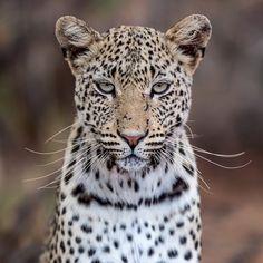 "Fabrizio Bignotti. (@fabriziobignotti) on Instagram: ""Stunning female leopard."" #Africa #Bigcat #Wildlife"