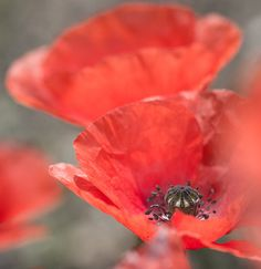 Red Poppy For Remembrance 2 Print By Mo Barton