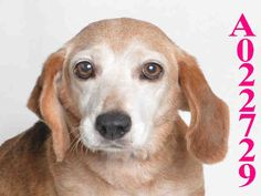 Meet LUCY, an adoptable Beagle looking for a forever home. If you're looking for a new pet to adopt or want information on how to get involved with adoptable pets, Petfinder.com is a great resource.