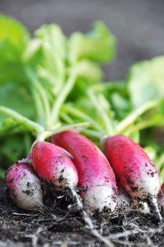 Le radis ça vous botte ? Saviez-vous que le radis prépare à la digestion, il exerce une action drainante du foie, de la vésicule biliaire et permet une meilleure élimination des toxines. Peu calorique 20 pour 100 g. Riche en vitamines B, C, et minéraux...