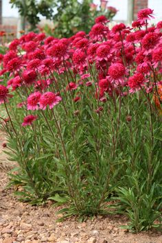 "Grower Introduction – 2011  |   Retail Introduction 2012  -- Echinacea ""Southern Belle"""