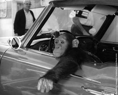 A chimpanzee, called Chee-Chee, at the wheel. (Photo by Hulton Archive/Getty Images). Circa 1950
