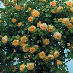 Róża róże ANGIELSKA Graham Thomas PIĘKNA donica Łopatki - image 3