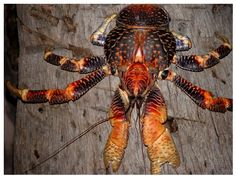 Coconut Crabs: Coconut Crabs are hunted wherever they come into contact with people and are subject to legal protection in some areas. Coconut Crab meat has been considered a local delicacy. Coconut Crabs are extremely high priced in the national food market. ~ (Wikipedia)