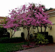 """""""Tabebuia heterophylla"""" COMMON NAME: Pink Tabebuia OR Pink Trumpet Tree Plant this tree in full sun, on well drained soil. The tree has no pests Vertical Vegetable Gardens, Common Names, Trees To Plant, Landscape, Yard Ideas, Trumpet, Outdoors, Gardening, Plants"""