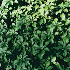 Pachysandra - great for shade, evergreen or semi evergreen, deer resistant, avoid Japanese variety (invasise)