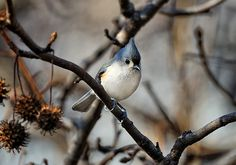 Teeny Titmouse. They used to play with me in my back yard.