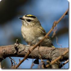 Golden #Kinglet – Learn All About the #Bird o' the Day – Backyard #WildBird Directory –