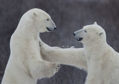A pushing match between two polar bears, Churchill, Canada.