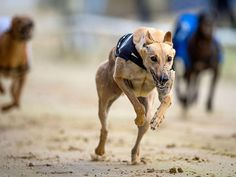 Romford, UK - Greyhound http://news.msn.com/world/week-in-photos-eye-catching-potty-humor-and-more#image=24