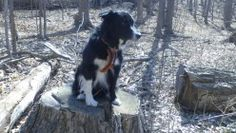 Beauregard a 6 year old border collie dog writes about some things about dog shows, dog breeding and dog health that every dog and animal lover will want to know. Dog Show, Border Collie, Dog Breeds, Dogs And Puppies, Author, Spaces, Animals, Animais, Animales