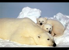A sow polar bear rests with her cubs on the pack ice in the Beaufort Sea in Alaska.