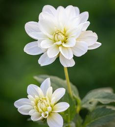 Buy Dahlia 'White Onesta' from Sarah Raven: A lovely pure white dahlia with a lemon-lime centre. A great performer that produces flowers all summer long. Home Flowers, Cut Flowers, Dahlia Flower, Flower Pots, Summer Flowering Bulbs, Growing Dahlias, White Dahlias, Plant Delivery, Garden Bulbs