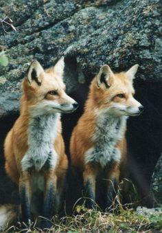 Look like my foxy friends!