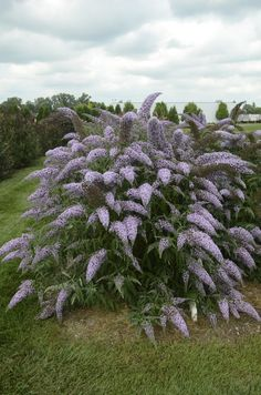 Unlike the typical Butterfly Bush, the panicles on this flowering shrub cascade downward, similar to the look of weeping willow or a bridalwreath spirea. Light lavender purple flower panicles are enormous at Butterfly Plants, Butterfly Bush, Hello Gorgeous, Beautiful, Weeping Willow, Flowering Shrubs, Shades Of Purple, Purple Flowers, Landscaping