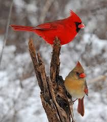 cardinals - they are frequent visitors to my feeders. I use sunflower/safflower seed in my feeders - it cuts down on nuisance birds.