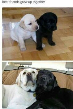 Labrador Retriever Dog Breed Information, Prices, Characteristics & Facts Funny Animal Pictures, Cute Funny Animals, Cute Baby Animals, Funny Dogs, Animals And Pets, Fluffy Animals, Funny Memes, Animal Pics, Cute Puppies