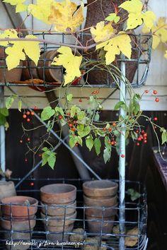 ソラナム(ヒヨドリジョウゴ)のリース の画像|フローラのガーデニング・園芸作業日記